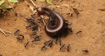 Watch as Ants Attack a Large Millipede and Use Amazing Team-work to Drag it Away     Sunday, 6 September 2015