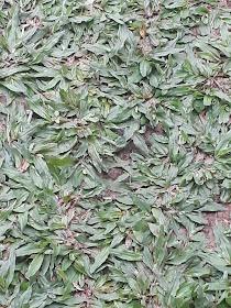 Rumput Gajah Mini Murah