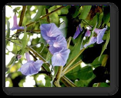 Ipomea. Salah satu jenis bunga yang bentuknya mirip lonceng