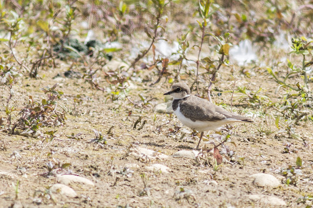 Young Little Ringed Plover
