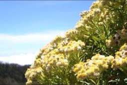 Bunga Edelweiss: 9 Fakta Tersembunyi dan Sejuta Manfaatnya