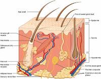 Salep Betason untuk mengatasi masalah kulit (gambar ilustrasi struktur kulit)