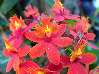 Epidendrum Comet Valley