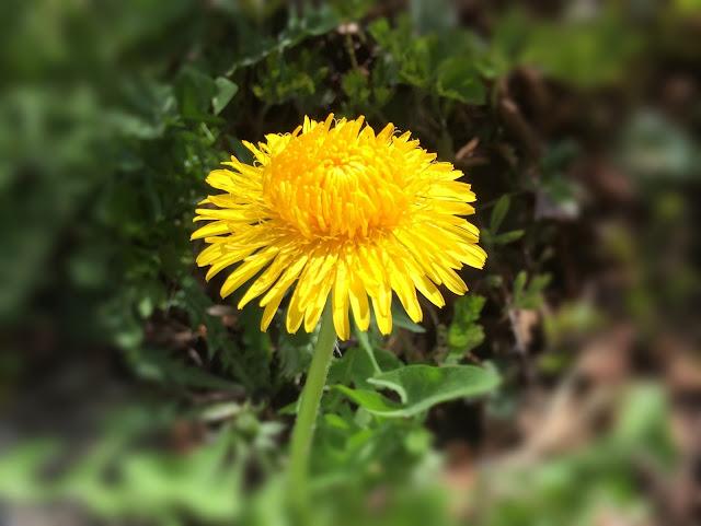 Löwenzahn: einzelne gelbe Blüte, fast ganz offen