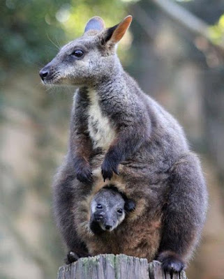 Animals That Start With W - Wallaby