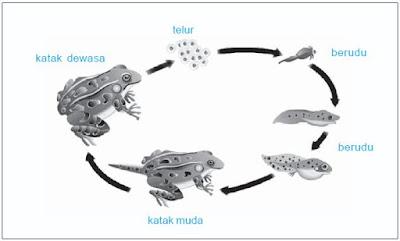 Metamorfosis pada katak.