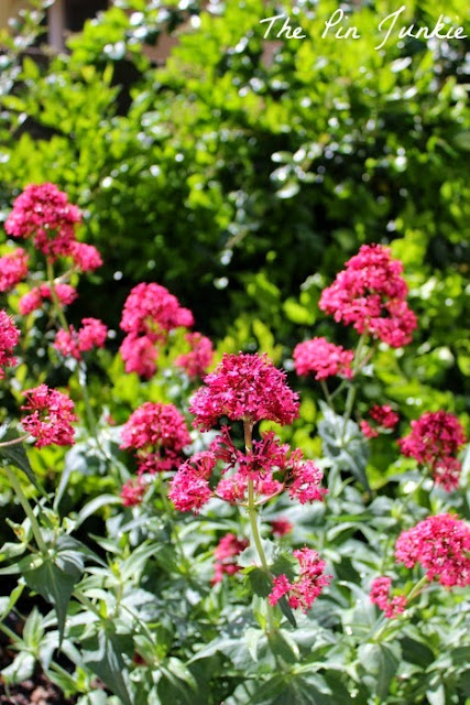 red valerian jupiter's beard