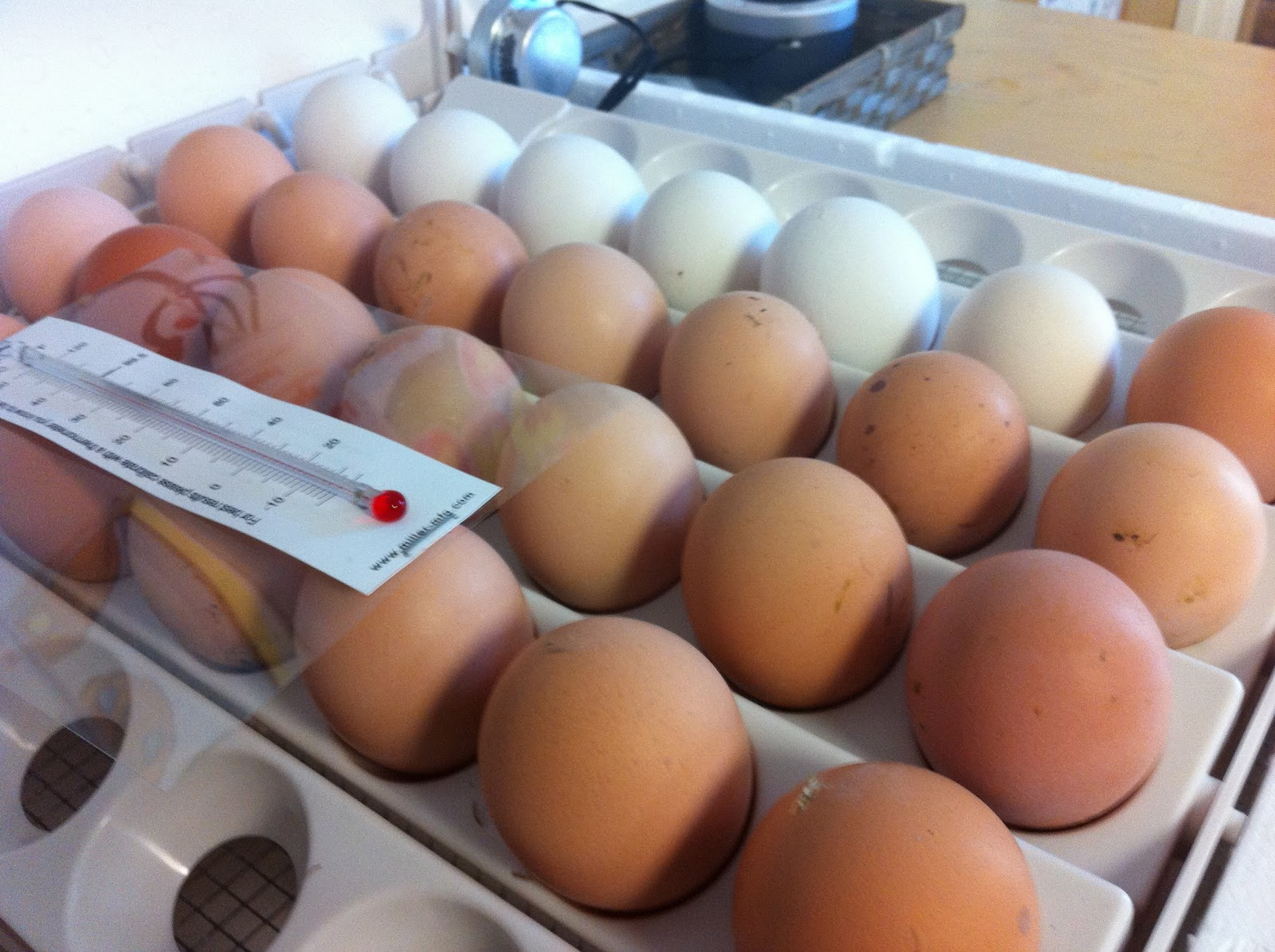 chicken egg incubation temperature determines sex
