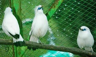 Cara Menangkap Burung Kicauan yang Lepas dari Sangkar Cara Menangkap Burung Kicauan yang Lepas dari Sangkar
