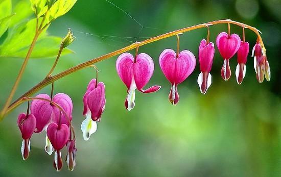 hoa trái tim rỉ máu
