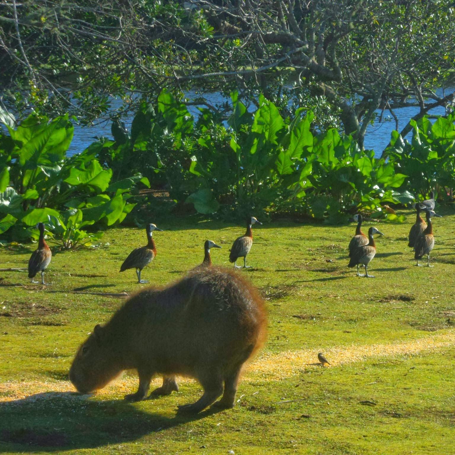Capivaras e Pássaros no Parque Tupancy