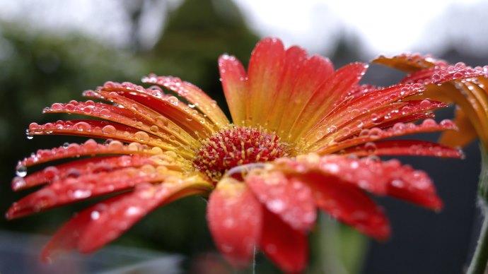 Wallpaper: Red Gerbera. Flower. Macro. Raindrops