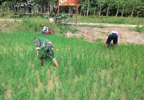 Anggota Babinsa Koramil 09/Hinai Lakukan Penyiangan Bersama Petani di Desa Paya Rengas