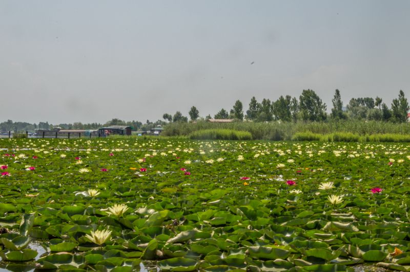 Water lillies at The Dal