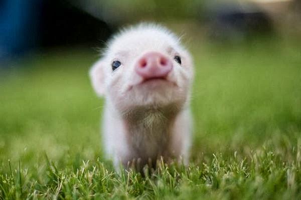 Teacup Pigs Photos & facts