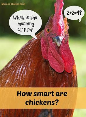Are chickens smart?