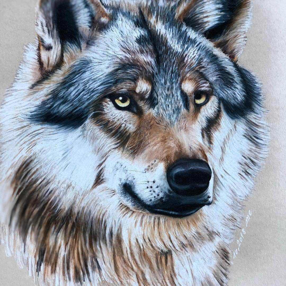 07-Grey-Wolf-Eichenberger-Rodriguez-Colored-Wildlife-Drawings-www-designstack-co