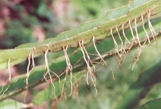 Resultado de imagen de pitahaya raices