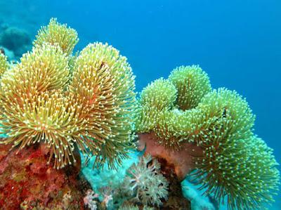 coral sarcophyton glaucum
