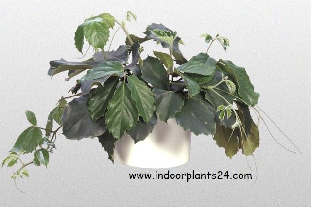 tetrastigma voinierianum plant