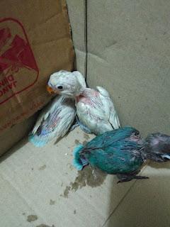 cara mengatasi burung lovebird muntah