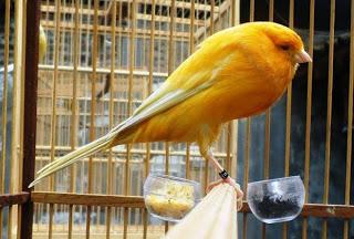 Burung Kenari Yorkshire - Solusi Penangkaran Burung Kenari - Mengenal Burung Kenari Yorkshire - Kenari Type Canary