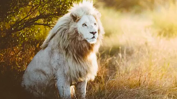 Majestic Pictures Of Extremely Rare White Baby Lions Born At Sanctuary