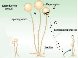 Reproduccion asexual en hongos por esporulacion