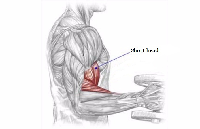 The Muscle Division of The Biceps & Forearms and the target ...