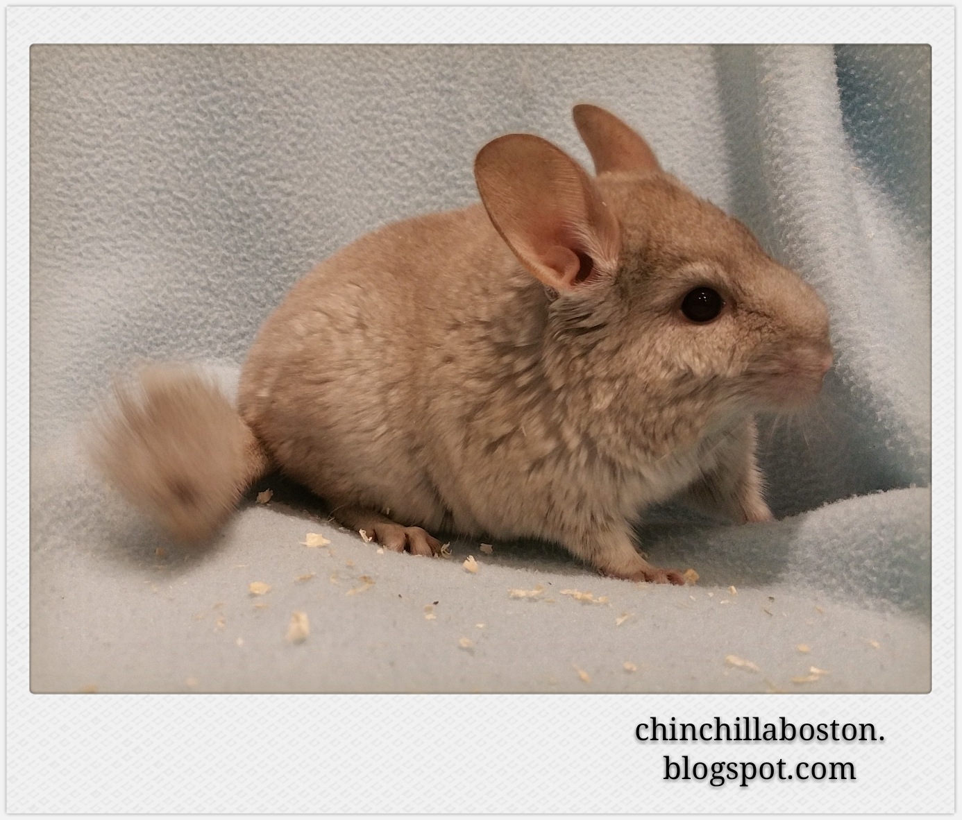 Hetero Beige Chinchilla | www.imgkid.com - The Image Kid ...