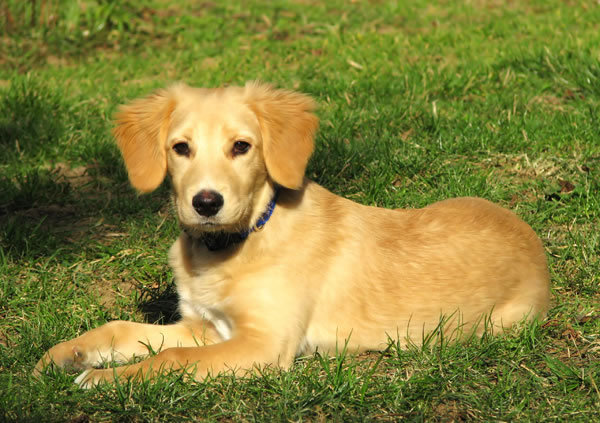 Golden Retriever Dog: Golden Retriever Lab Mix Puppies