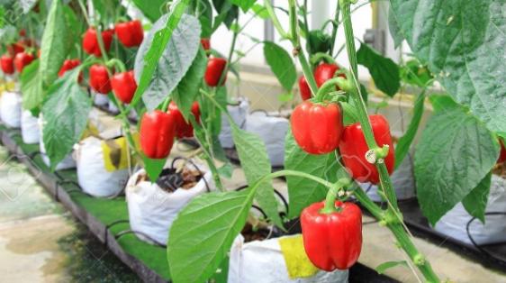 budidaya tanaman yang cepat menghasilkan uang