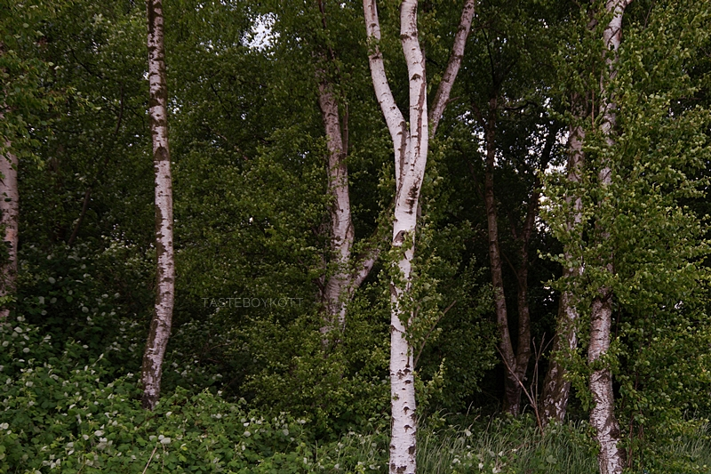 pretty green birch forest in summer