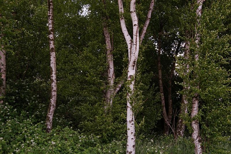 pretty green birch forest in summer
