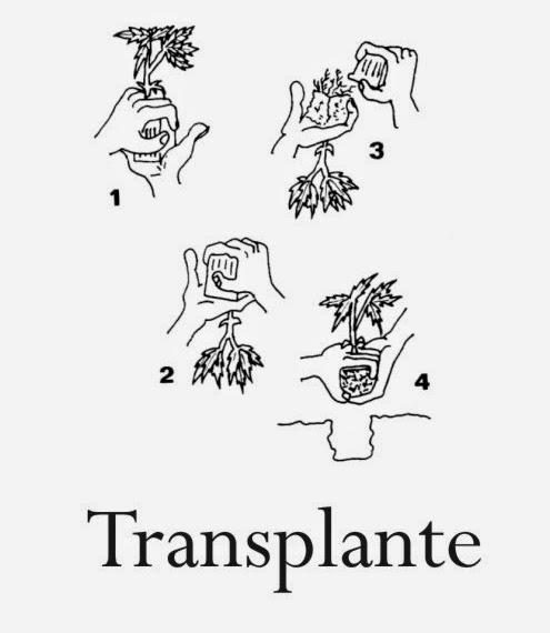trasplante de una planta de marihuana
