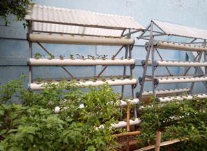tanaman hidroponik sman 110