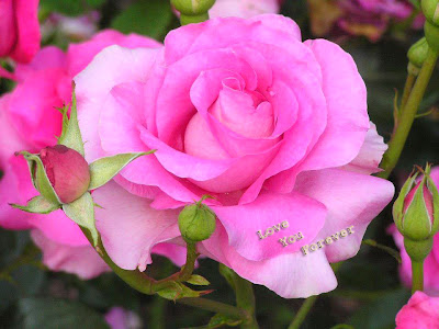 lovely pinky pink rose wallpaper