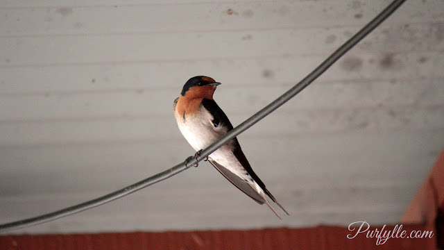 The 'Welcome Swallow'.   According to Wikipedia this little bird's name refers to people welcoming its return as a herald of spring.