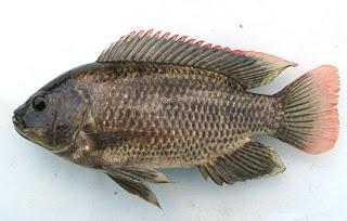 Menyiapkan Umpan Jitu Ikan Mujair Di Sungai