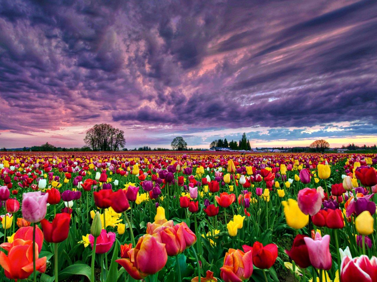 24+ Hình ảnh hoa tulip đẹp nhất thế giới
