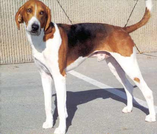 American Foxhound-dog-pet-dog breeds