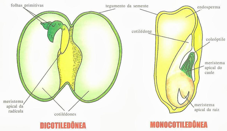 #Semente, Morfologia das Sementes