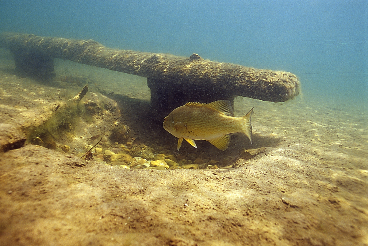 Engbretson Underwater Photography How Do Spawning Benches