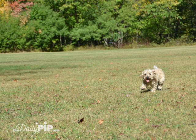 Floppy Yorkie-Poo running in an open field with fall leaves