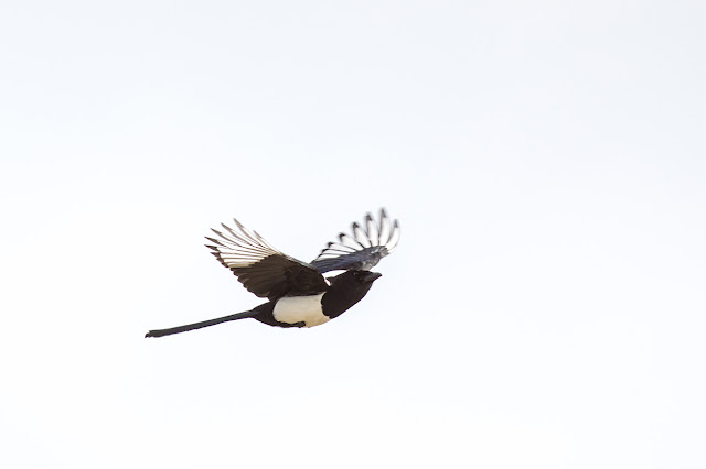 Magpie flyby