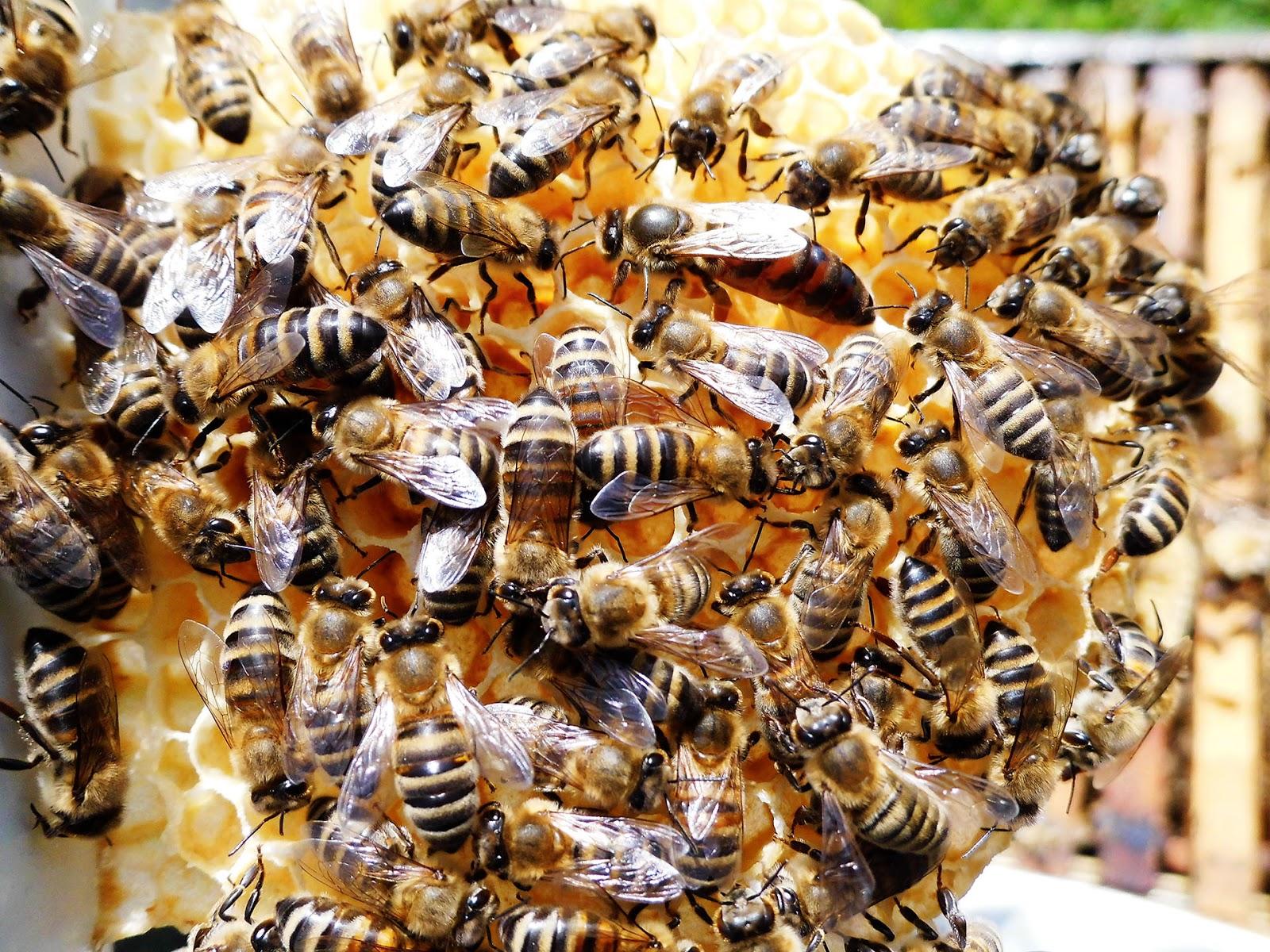 Karniyol ana arı satışı-f1 karniyol satisi-ana ari satisi
