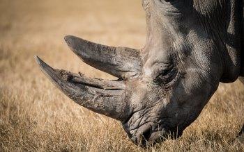 Wallpaper: Rhino Portrait