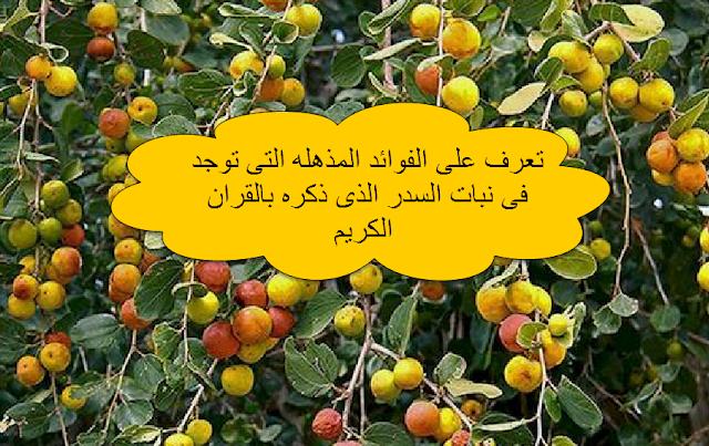 تعرف على الفوائد المذهله التى توجد فى نبات السدر الذى ذكره بالقران الكريم