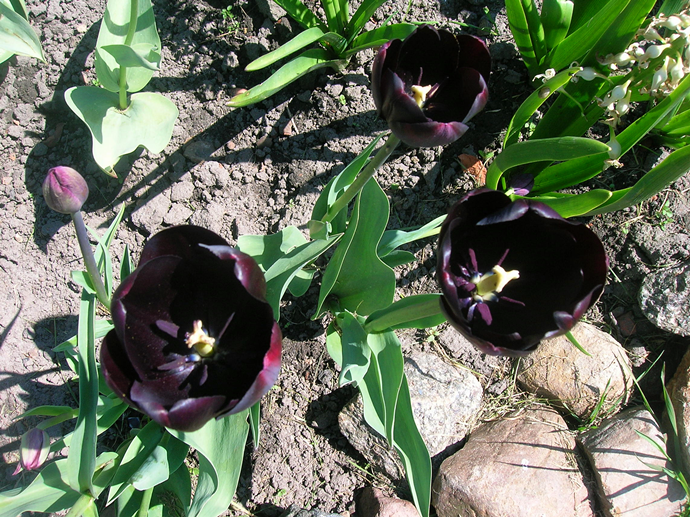 tulipany bordowe