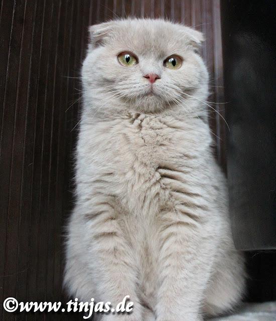 Scottish Fold Katzenzucht fawn und cinnamon